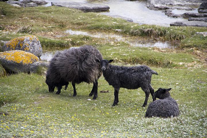 Mother lamm and her twin lamms on the beach on Fårö.