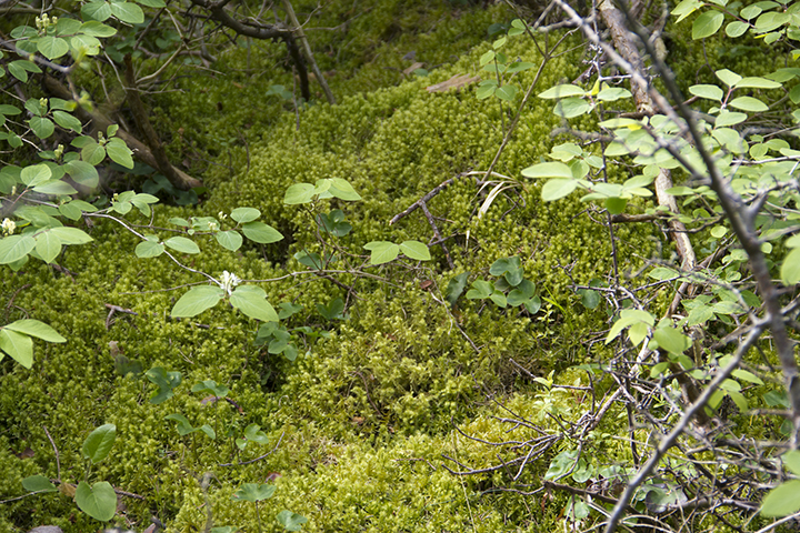 """Moss and fern undergrowth at Jungfrun (""""The Virgin"""") rock formation."""