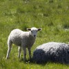 rute_sheep_MG_4501 thumbnail