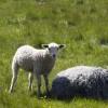 rute_sheep_MG_4501 thumbnail