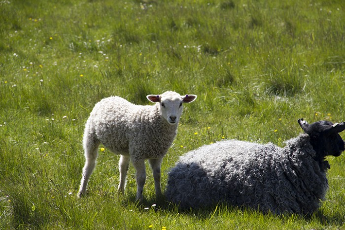 rute_sheep_MG_4501