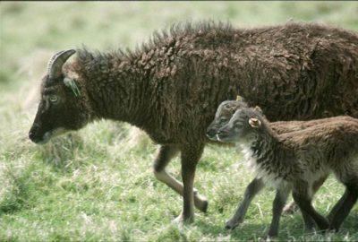 Soay ewe with twins