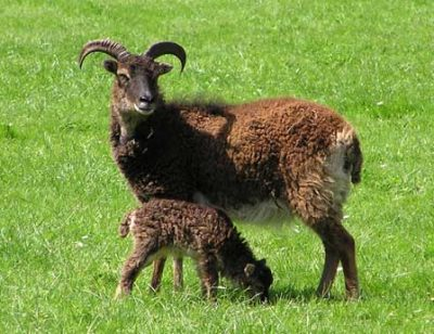 Soay horned ewe with lamb