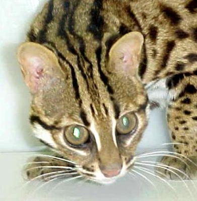 Head of Taro of Bundas, Asian Leopard Cat