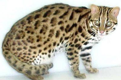 Asian Leopard Cat Taro of Bundas, (1991-2001)