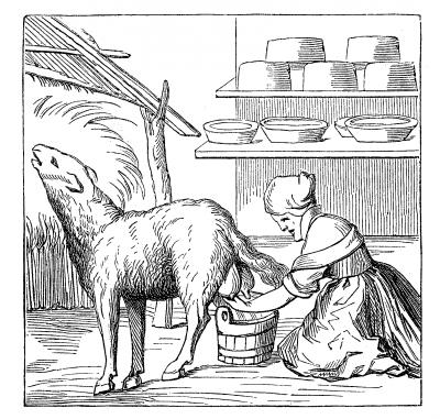 Milking an Ewe