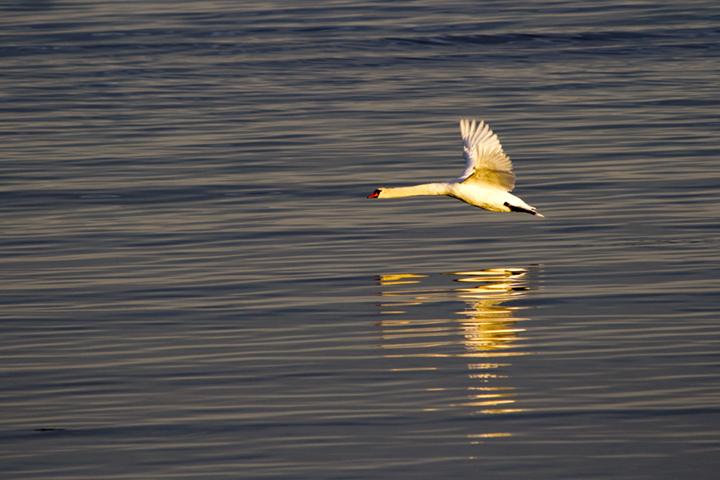 Swan in night flight