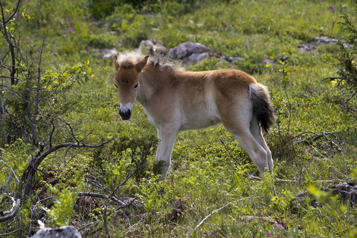 Gotlands Russ Foal