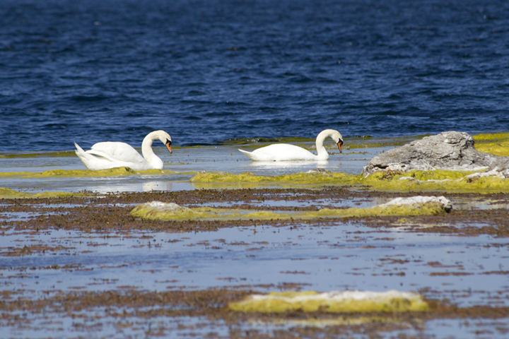 Two of the many Baltic swans