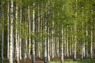 Birch stand on Gotland