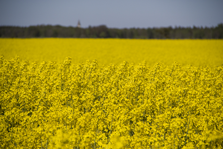 Rapp (Rape Seed) field near Stenkyrka